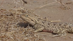 Small lizard (steppe agama) rotates her eye, closeup Stock Footage