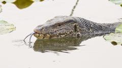Large monitor lizard in canal Stock Photos
