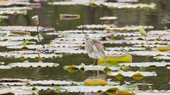 Chinese Pond Heron - stock photo