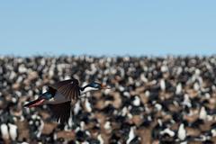 Stock Photo of Imperial Cormorant in Flight
