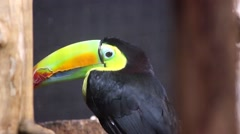 Keel-Billed Toucan Back View Stock Footage