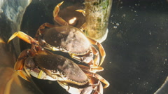 Two live crabs Stock Footage