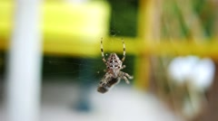 Stock Video Footage of 4K European Garden Spider Araneus Diadematus caught a Fly