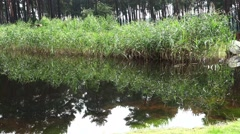 4k Pond with reflecting water reed and pines landscape pan Stock Footage