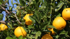 Oranges Hanging On A Orange  Tree Stock Footage