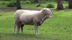 4k Sheep standing on a grassy meadow nature preserve Stock Footage