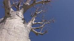 Boab Tree Australia Stock Footage