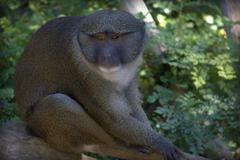 Allen's Swamp Monkey Stock Photos