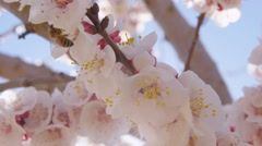 Bees & Pink Orchard Blossoms On Sunny Blue Sky Day Spring Season Stock Footage