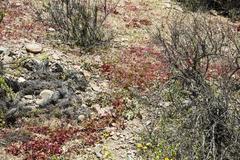 Flowering desert (Spanish: desierto florido) in the Chilean Atacama. The even Stock Photos