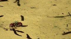 Crab feeding in shallow water Stock Footage