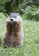 Groundhog eating a cookie. - stock photo