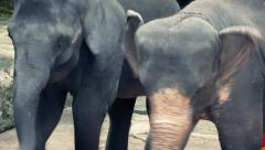 Stock Video Footage of Elephants Forced To Dance Animal Cruelty