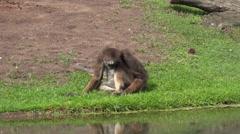 White-bellied spider monkey on grassy ground Stock Footage