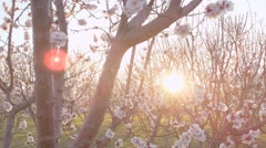 Sun Flare Through Pink Orchard Blossoms On Sunny Blue Sky Day Spring Season Stock Footage