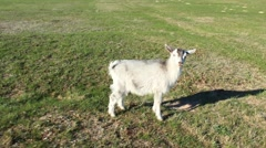 Goat standing on the pasture - stock footage