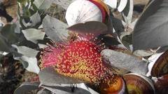 Australian plant Eucalyptus macrocarpa flowering Stock Footage