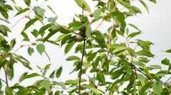Sparrows twitter on green cherry tree branch Stock Footage