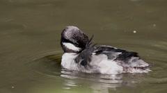 Bufflehead Duckling Stock Footage