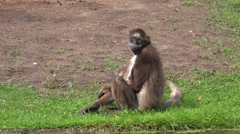 White-bellied spider monkey on grassy ground Stock Footage