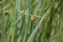 Wasp Spider (Argiope bruennichi) on it is web Stock Photos