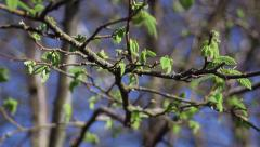 Oak branches with budding new leaves shaking in the wind Stock Footage
