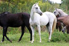 Young arabian mares and foals grazing on pasture Stock Photos