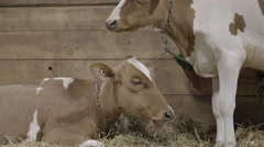 A group of cattle eating Stock Footage