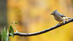 Tufted Titmouse Stock Footage