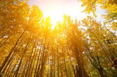 Golden Fall Aspen Trees Stock Photos