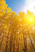 Aspen Trees in fall seasons Stock Photos