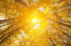 Fall Aspen Trees - stock photo