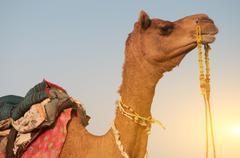 Close up camel Stock Photos
