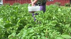 Farmer pick colorado potato beetle larva in agriculture plantation. 4K Stock Footage