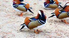 Many mandarin duck birds on sand shore Stock Footage