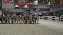 Cattle being judged at Royal Winter Fair - stock footage