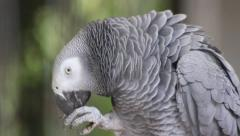 African Grey Parrot Stock Footage