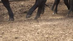 Black Angus Cow Stock Footage