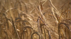 Field of fully riped barley crops (tracking shot) Stock Footage