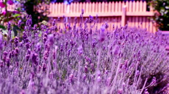 Stock Video Footage of flowers lavender color violet wall background beautiful pattern