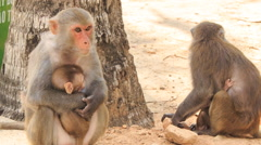 Monkey sits at stone looks suckles monkey-cub in tropical park Stock Footage