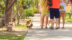 tourists walk in park monkeys run around ask for food - stock footage