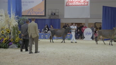 Cattle being judged at Royal Winter Fair Stock Footage