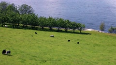 Sheep in nature. Norway. Stock Footage