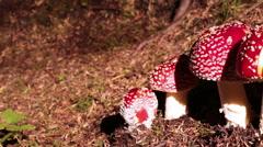Amanita muscaria mushrooms family sliding shot Iceland Stock Footage
