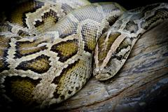 Close-up photo of burmese python (Python molurus bivittatus) isolated on blac Stock Photos