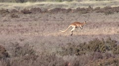 Red Kangaroo jumping through bush in outback 1 Stock Footage