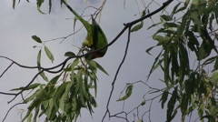 Red-collared Parakeet feed in tree Stock Footage