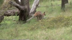 Red-necked Wallaby jumping through forest 1 - stock footage