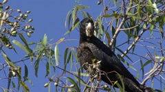 Red-tailed Cockatoo feeding on fruit in tree 3 Stock Footage